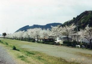 94年の桜