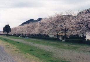 99年の桜